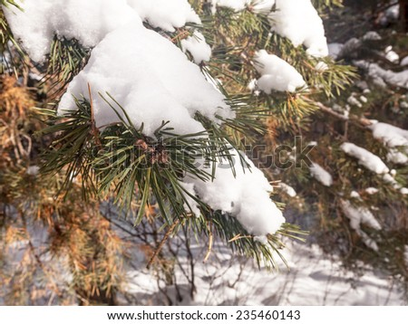 Snow flakes on a spruce branch - stock photo