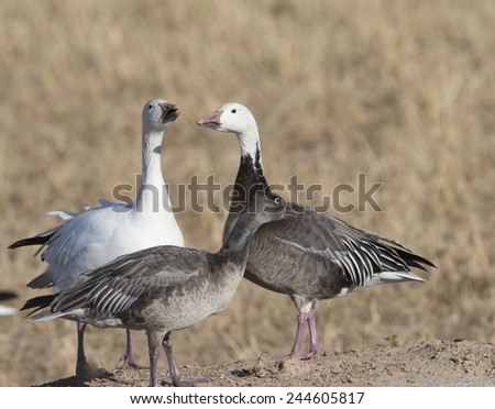 "Snow geese, Dark phase or ""BLUE Goose"" at Bosque del Apache National Wildlife Refuge, San Antonio, New Mexico - stock photo"