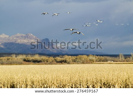 Snow geese fly over corn field at the Bosque del Apache National Wildlife Refuge, near San Antonio and Socorro, New Mexico  - stock photo