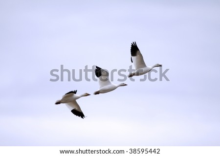 Snow geese migrating south against backlit sunset - stock photo