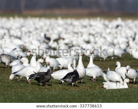 Snow Geese Resting During Migration South in Fall, Blue Form - stock photo