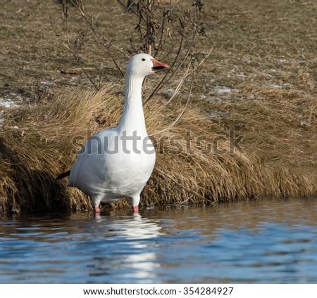 Snow Goose - stock photo