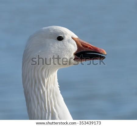 Snow Goose Portrait - stock photo
