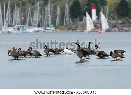 Snow Goose with Canada Geese - stock photo