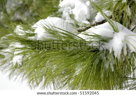 Snow Laden Pine Boughs - stock photo