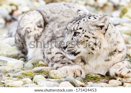 Snow Leopard - stock photo