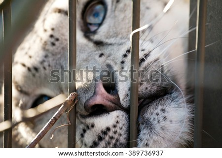 snow leopard blue-eyed snout closeup view behind the zoo bars - stock photo