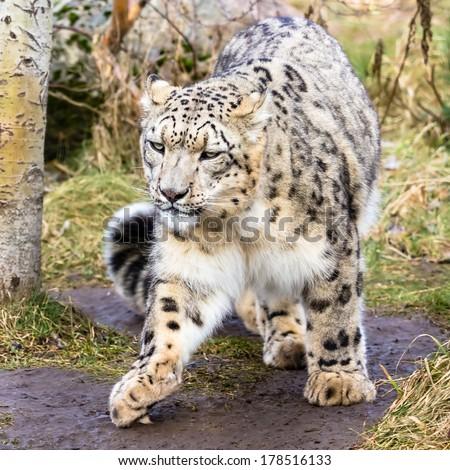 Snow leopard full-body shot - stock photo