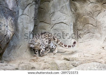 Snow Leopard in a zoo - stock photo