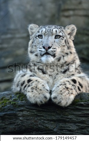 Snow Leopard on Rock - stock photo