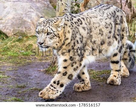 Snow leopard walking across the field - stock photo