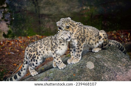 Snow Leopards Caressing Each Other - stock photo