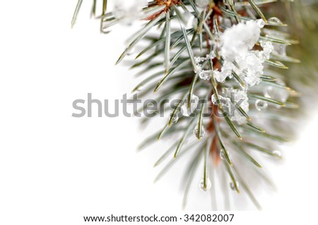 snow lies on a branch of a blue spruce - stock photo