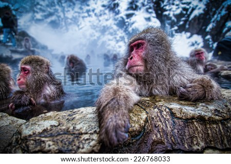 snow monkey - stock photo