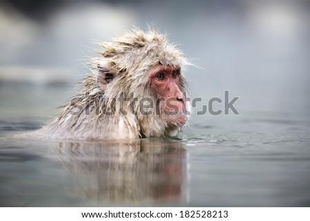 Snow monkey in a natural onsen (hot spring), Jigokudani Park near Yudanaka, Japan - stock photo
