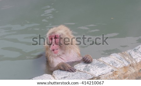 Snow Monkey Relaxing in a Natural Hot Spring. Japanese Macaque Onsen Monkey. - stock photo