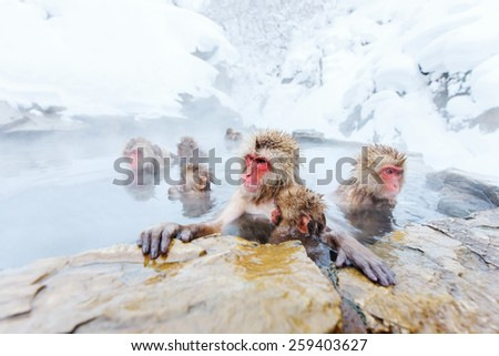 Snow Monkeys Japanese Macaques bathe in onsen hot springs of Nagano, Japan - stock photo