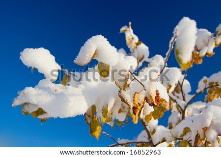 Snow on leaves of a tree under the blue sky - stock photo