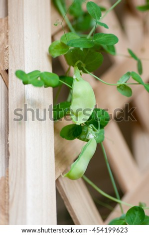 snow peas grown in a vertical hydroponic system - stock photo