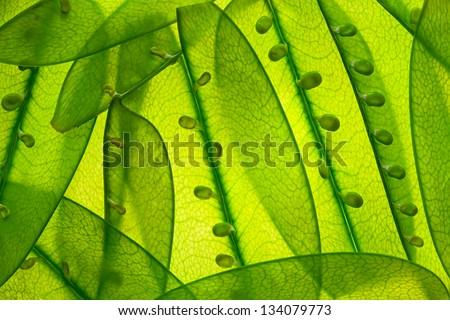 snow peas up close - stock photo