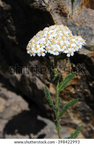 Snowball Sand Verbena grows wild on the slopes of the Rocky Mountains in Yellowstone National Park. - stock photo