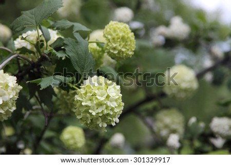 Snowball (Viburnum opulus) flower  - stock photo