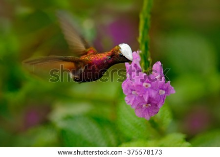Snowcap, Microchera albocoronata, rare hummingbird from Costa Rica, red-violet bird flying next to beautiful pink flower, action feeding scene in green tropical forest, animal in the nature habitat - stock photo