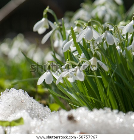 snowdrop blooming in spring - stock photo