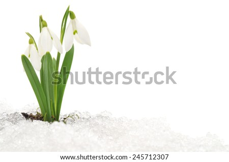 Snowdrop flower coming out from real snow - stock photo