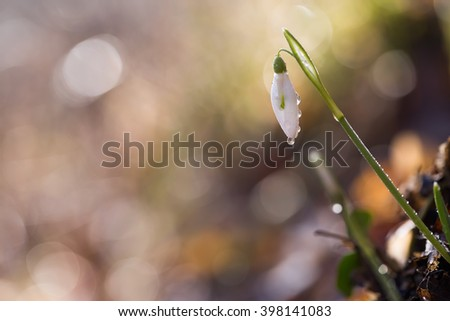 Snowdrop flowers in the forest with drops - stock photo