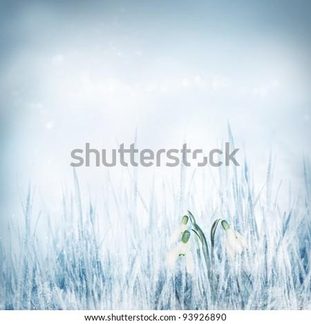 Snowdrop Galanthus flowers on winter bokeh background. - stock photo