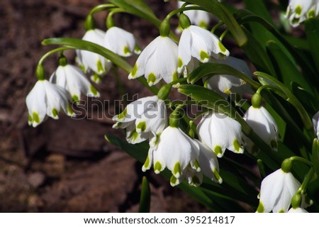 Snowdrops are the first spring flowers that bloom early spring They are a symbol of spring - stock photo
