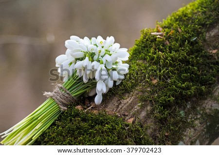 Snowdrops bunch. Snowdrop flowers - stock photo