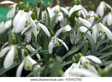 Snowdrops flowers - stock photo