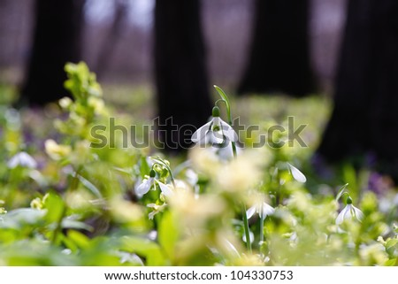Snowdrops in early spring with blured background - stock photo
