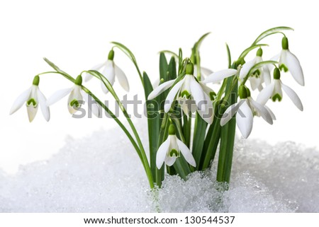 snowdrops in snow  isolated on white - stock photo