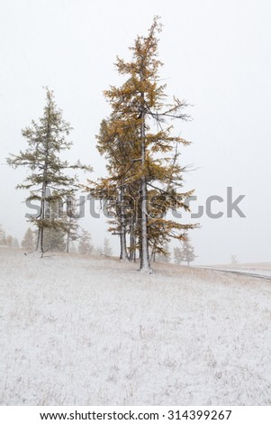 Snowfall in the forest of larch trees. Mongolia. Landscape - stock photo