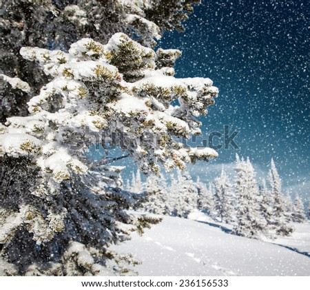 snowing in spruce tree forest - stock photo