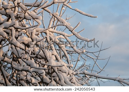 Snowy branches of an apple tree in the sunset - stock photo