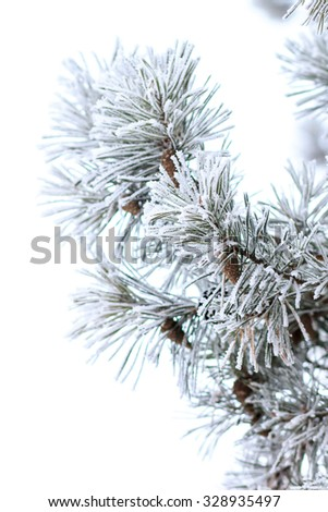 Snowy branches of pine tree isolated on white background.  Christmas nature decoration - stock photo