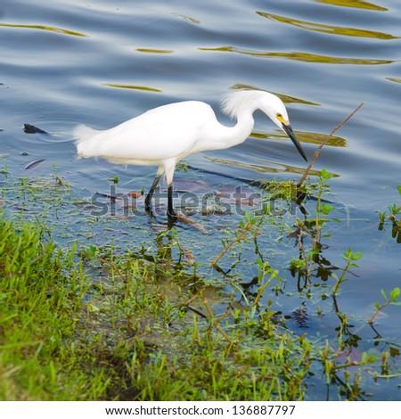 Snowy Egret - stock photo