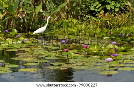 Snowy Egret among the Water Lilies at the botanical gardens in Naples, Florida - stock photo