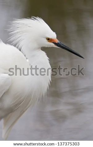Snowy Egret Displaying breeding plumage. - stock photo