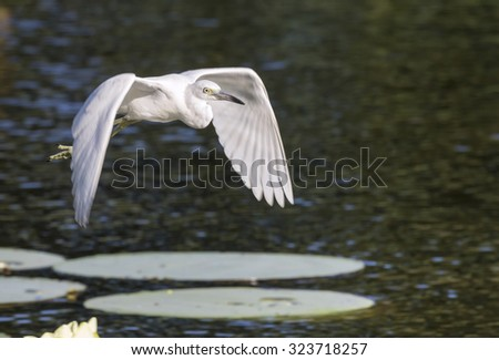 snowy egret (Egretta thula) flying over swamp, Brazos Bend State Park, Texas. - stock photo