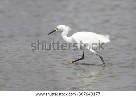 Snowy Egret (Egretta thula) in breeding plumage foraging in a shallow bay - Bolivar Peninsula, Texas - stock photo