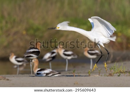 Snowy egret (Egretta thula) in breeding plumage landing in tidal marsh on the background of a group of American avocets, Galveston, Texas. - stock photo