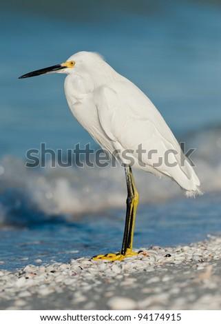 Snowy egret (Egretta thula) in Sanibel Island, Florida - stock photo