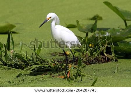 Snowy Egret (Egretta thula) in the Florida Everglades - stock photo