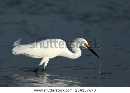 Snowy egret, Egretta thula, looking for food - stock photo