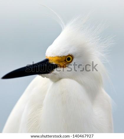 Snowy egret, Egretta thula, portrait - stock photo